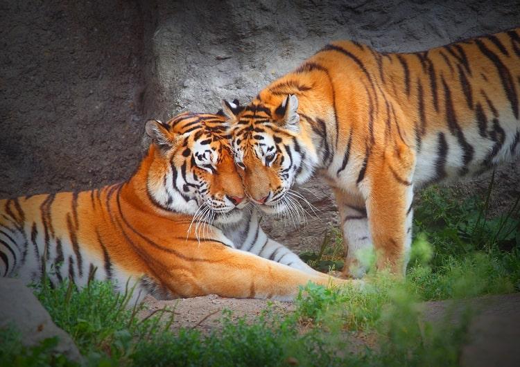 chuyện ngắn về 2 con hổ